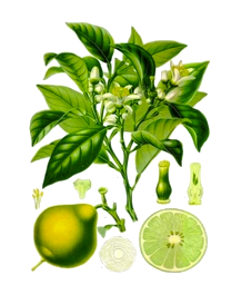Sustainable Skincare – Bergamot