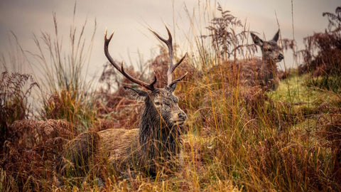 Red Stag © James Glossop