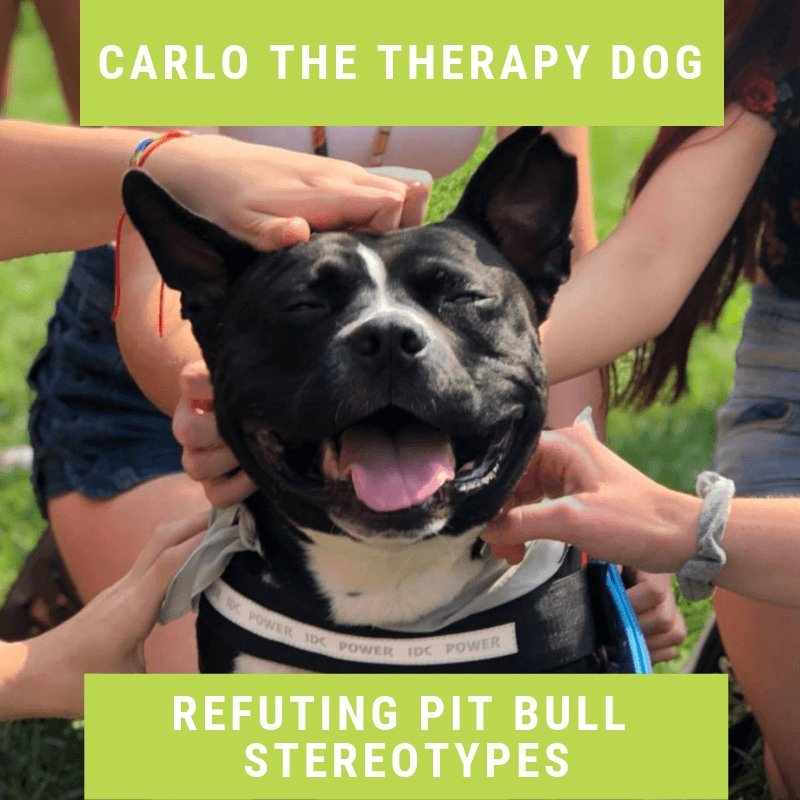 Carlo the Therapy Dog - Refuting Pit Bull Stereotypes
