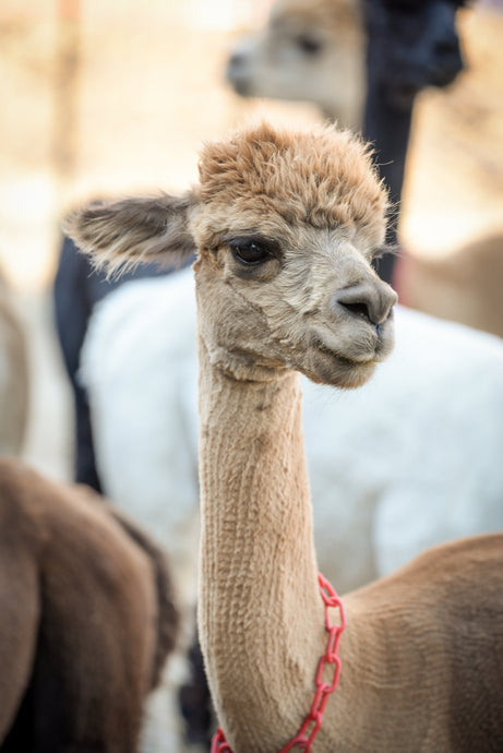 5 Reasons to Choose Alpaca Over Other Natural Fibers