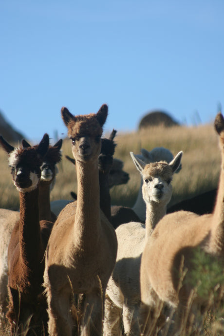 Frequently Asked Questions About Alpacas