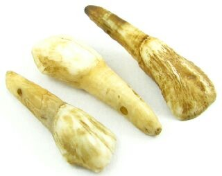 Cows Teeth, 40x14mm (5 pcs)