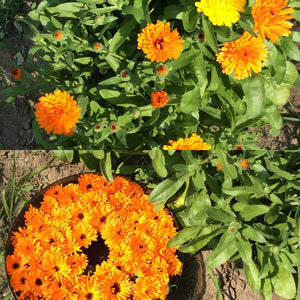 calendula mixed seed package