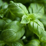 BASIL (SWEET) 15 ML - ORGANIC