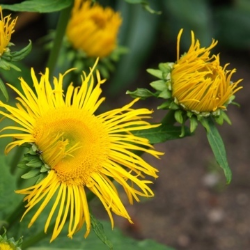 INULA (SWEET) 15 ML - ORGANIC
