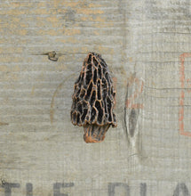 Load image into Gallery viewer, Morel Mushroom Knob - Traditional | Timber Bronze | Oregon