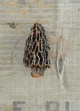 Load image into Gallery viewer, Morel Mushroom Knob (2) | Timber Bronze | Oregon