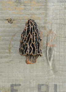 Morel Mushroom Knob (2) | Timber Bronze | Oregon