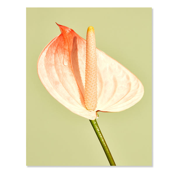 Anthurium Print by Chaunté Vaughn