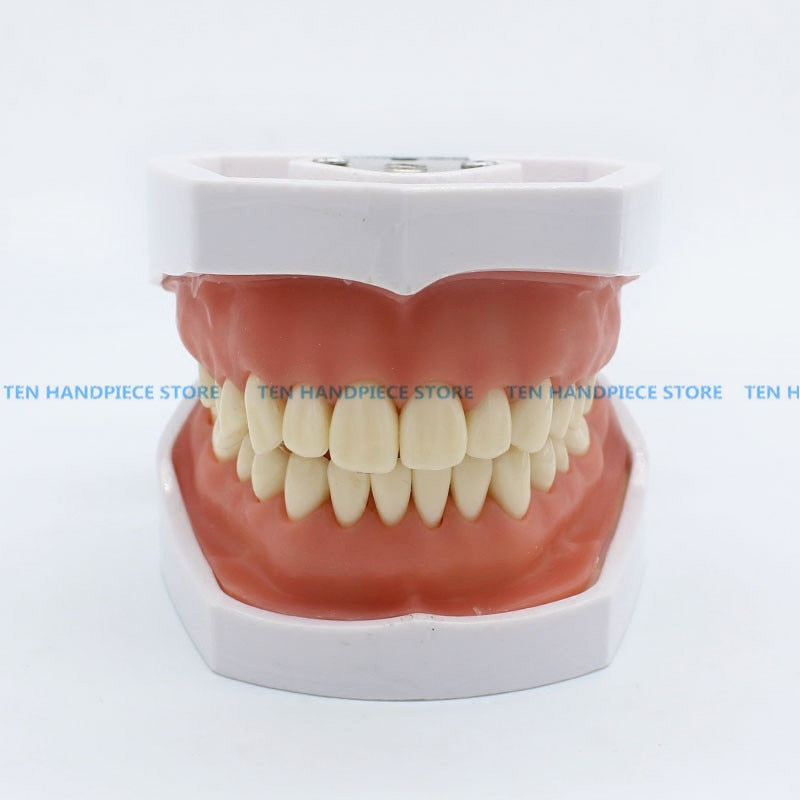 Removable tooth model Excretion exercise