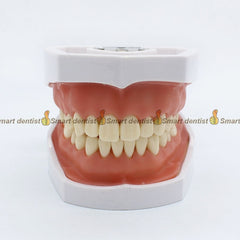 Dental teeth model Removable tooth Excretion exercise model