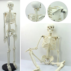 Human Anatomical Anatomy Skeleton Model