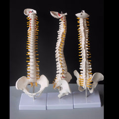 45CM Human Spine with Pelvic Model