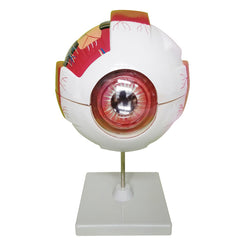 Eye Anatomical Model