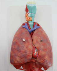 Human Anatomy Respiratory System Medical Model