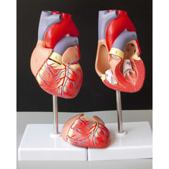 Human Heart Anatomical Anatomy Teaching Model