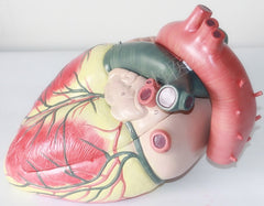 Medical ultrasound Cardiology heart model