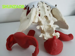 Female pelvis and reproductive organs model