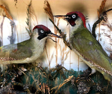 Load image into Gallery viewer, Victorian Cased Taxidermy Woodpeckers - THE VINTAGE LOOK Henley-on-Thames