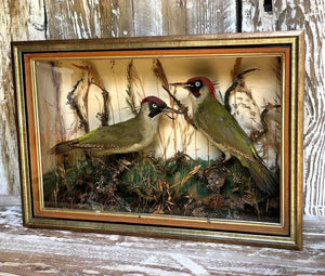 Victorian Cased Taxidermy Woodpeckers - THE VINTAGE LOOK Henley-on-Thames