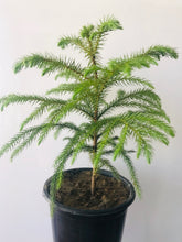 Load image into Gallery viewer, Araucaria Plant (Christmas Plant) without Ceramic Pot - QYARI