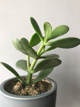 Load image into Gallery viewer, Crassula Ovata Plant or Feng Shui Good Luck Plant