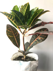 Croton Plant - Petra (Big Leaf) with Pot