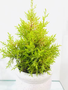 Cypress Golden with pot