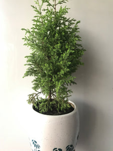 Cypress Green without Pot - QYARI