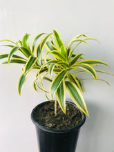 Load image into Gallery viewer, Pleomele Plant- Song Of India Plant (Dracaena Reflexa) - QYARI