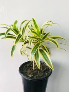 Pleomele Plant- Song Of India Plant (Dracaena Reflexa) - QYARI