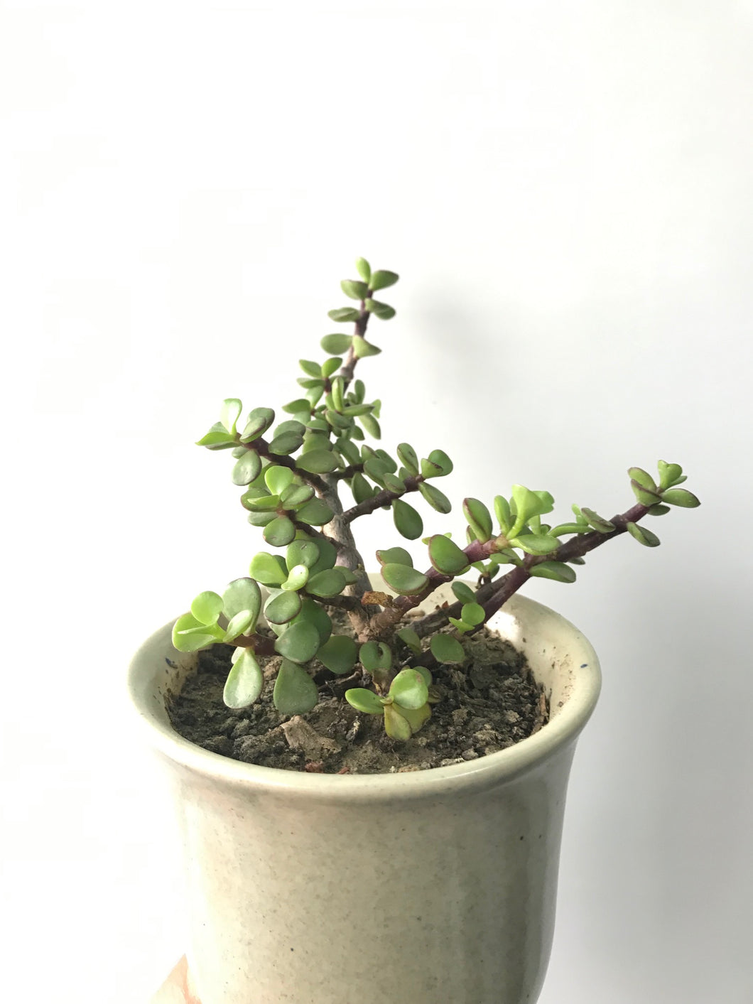Dwarf Jade Plant or Elephant Bush Plant or Goodluck plant with Pot - QYARI