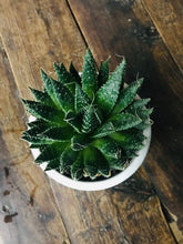 Load image into Gallery viewer, Succulent Howarthia Minima Plant without pot