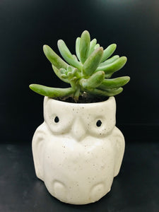 Owl Shape Planter with Succulent - QYARI