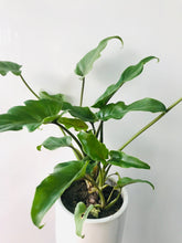 Load image into Gallery viewer, Selloum Philodendron Green (Green Xanadu Plant Only)