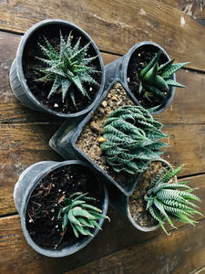 Succulent Plants with Ceramic Pots (Combo of 5)