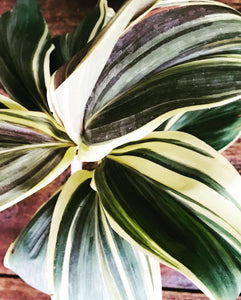 Dracaena Yellow Leaf with Ceramic Pot - QYARI