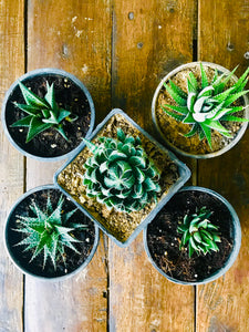 Succulent Plants Only (Combo of 5)