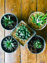 Load image into Gallery viewer, Succulent Plants with Ceramic Pots (Combo of 5)