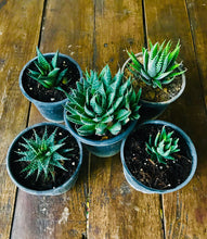 Load image into Gallery viewer, Succulent Plants Only (Combo of 5)