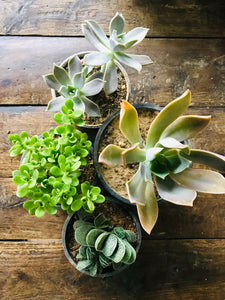 Succulent Plants (Combo of 4) with Ceramic Pots - QYARI