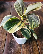 Load image into Gallery viewer, Dracaena Yellow Leaf with Ceramic Pot - QYARI