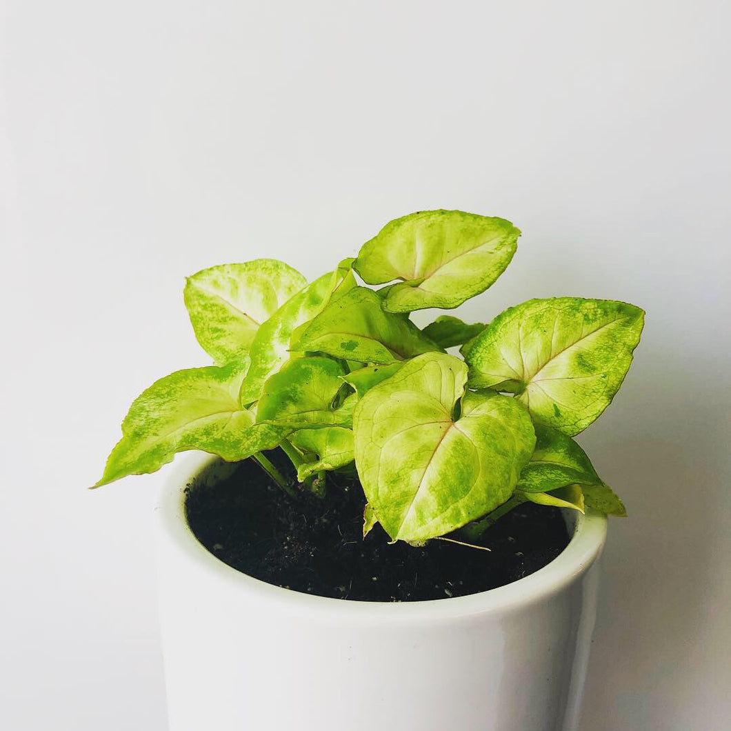 Syngonium Dwarf Golden Plant without Ceramic Pot - QYARI