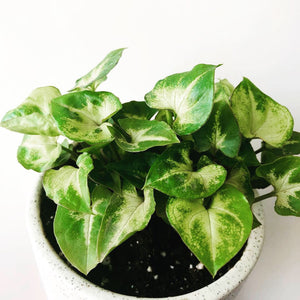 Syngonium Dwarf Green Plant with Ceramic Pot