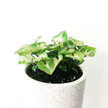 Load image into Gallery viewer, Syngonium Dwarf Green Plant with Ceramic Pot