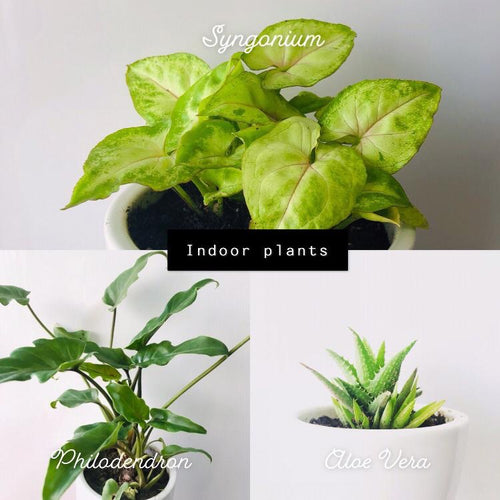 Dwarf Indoor Plants (set of 3) with Ceramic Pots