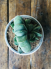 Load image into Gallery viewer, Succulent Gasteria Plant (without ceramic pot)
