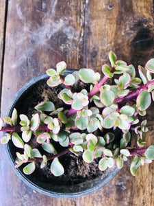 Variegated Jade Plant or Good Luck with Ceramic Pot