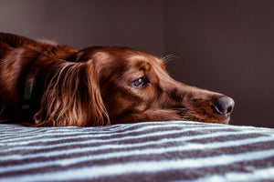 Dog anxiety is becoming one of the most common problems for dog owners