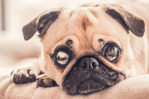 Glaucoma in dogs can lead to severe pain and blindness.